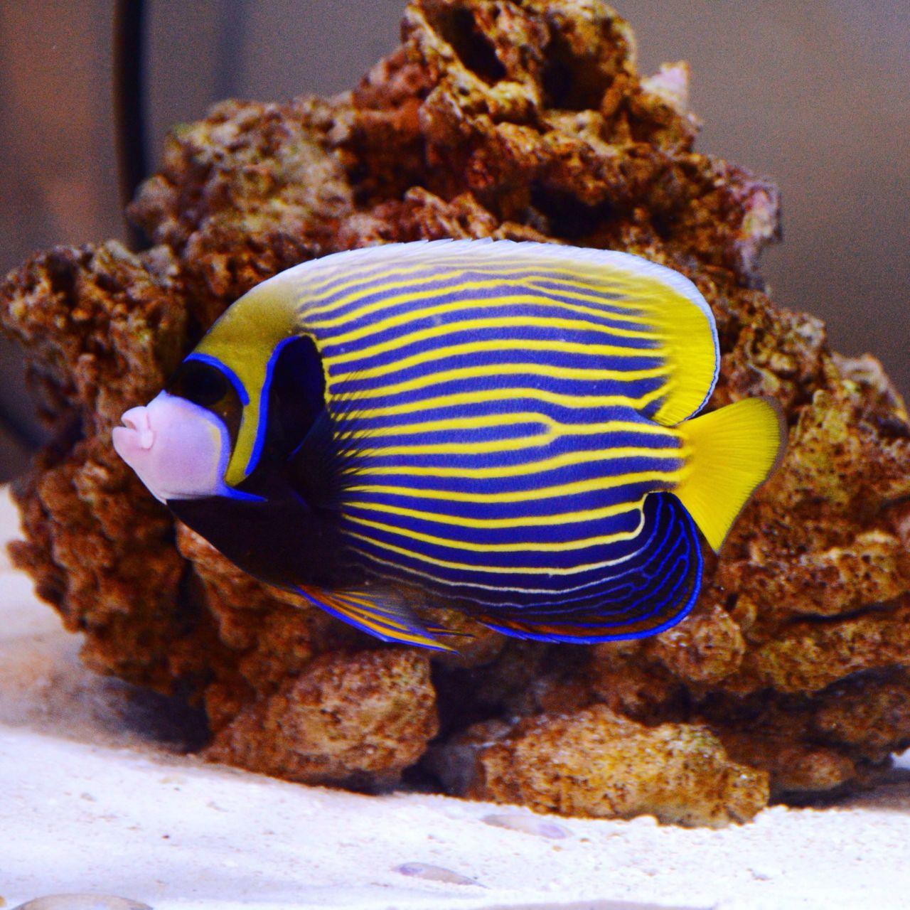 Emperor Angel - Reef Bar Aquarium Services - reef-bar.com